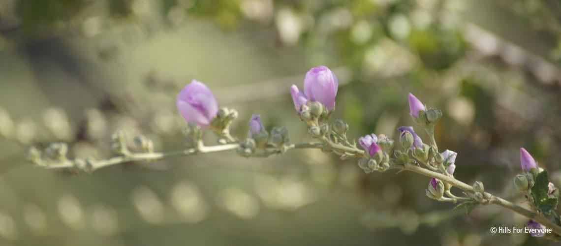 Blooming Bush Mallow