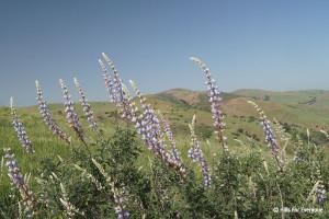 Chino Hills State Park - Bush Lupin