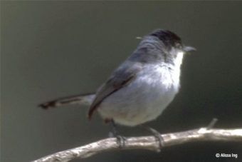 Protections Upheld for Gnatcatcher