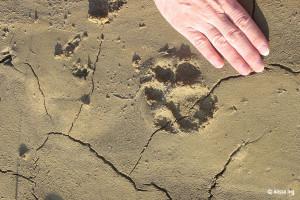 Coal Canyon - Cougar Track