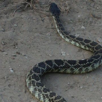 Rattlesnakes and Summertime