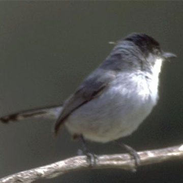 Feds Keep California Gnatcatcher Listed as Threatened