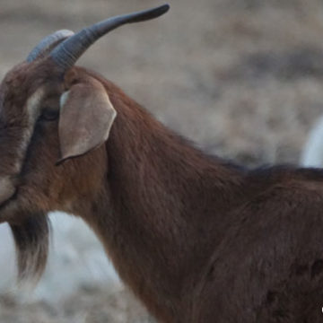 Goats Reduce Fire Risk