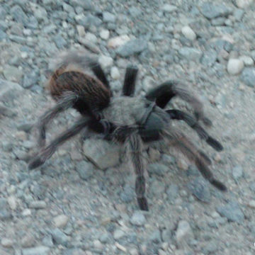 Tarantulas Out This Summer