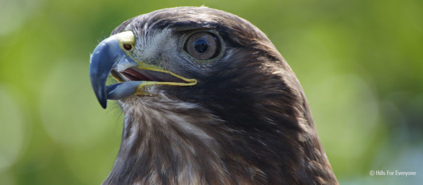 Video of Hawk Calling in Local Park