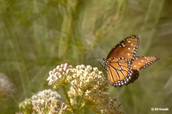 Help Save Monarch Butterflies