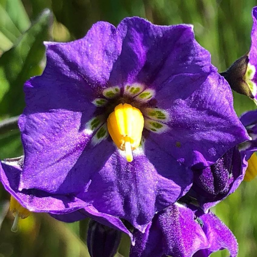 Purple Nightshade in Bloom