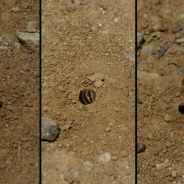 Ground Dwelling Native Bees