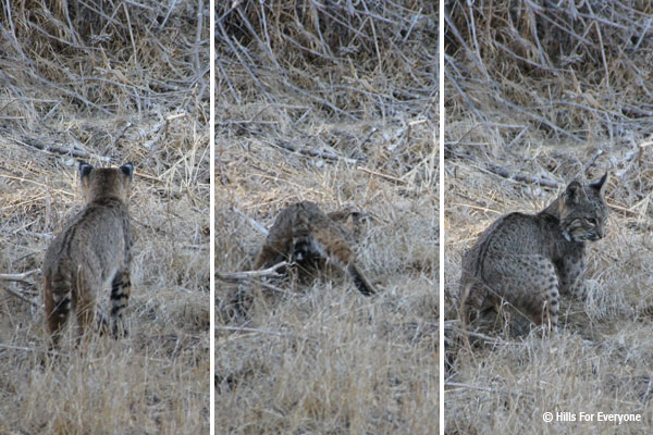 Bobcats in the Hills