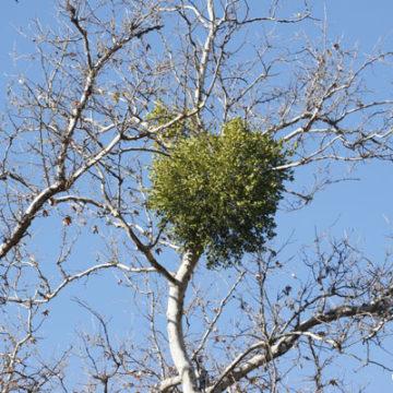 Leave the Mistletoe Behind