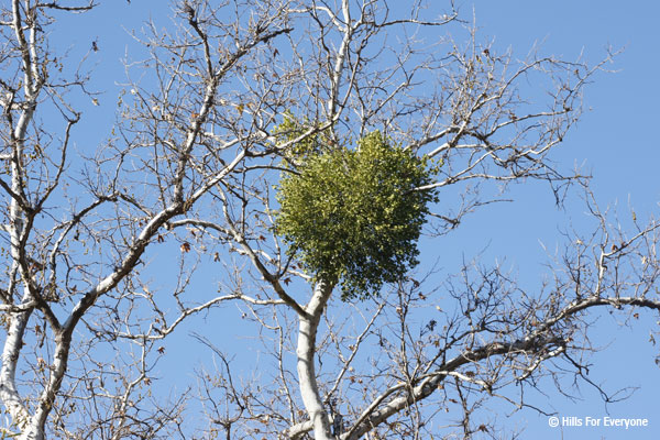 Facts About Mistletoe