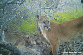 Mountain Lions Have A Good Day in Court