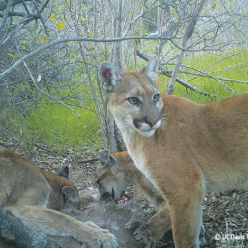 Three Cougar Cubs in Santa Monica Mountains