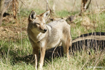 A Little On Coyotes
