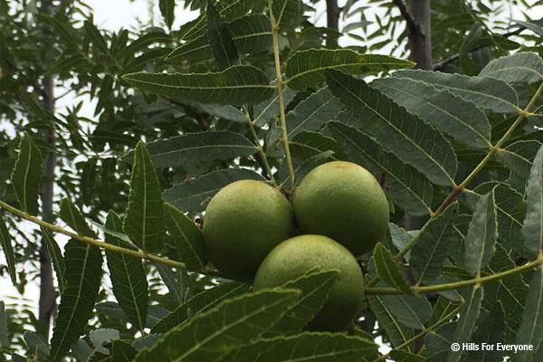 Black Walnuts Unique to Area