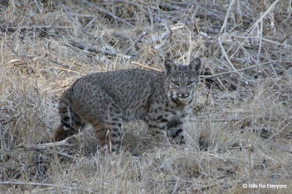 Bobcat in State Park