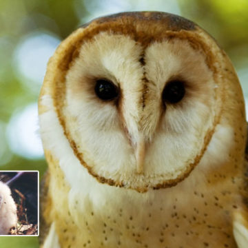 Bird ID Answer: Barn Owl