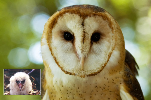 Bird ID Answer: Barn Owl