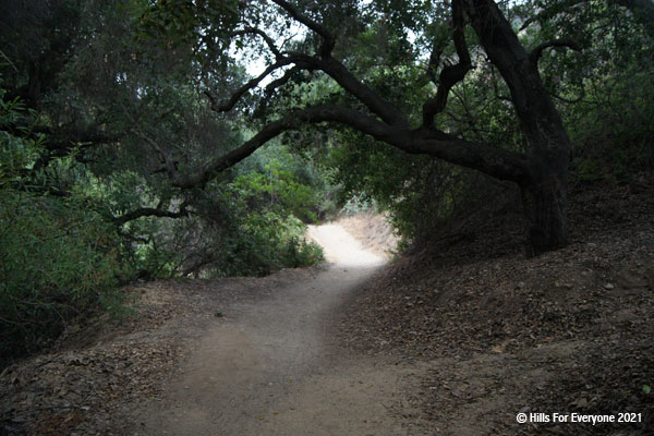 A dirt trail center with scattered leaf debris on both sides and a large oak tree with branches crossing above the trail and vegetation on both sides.