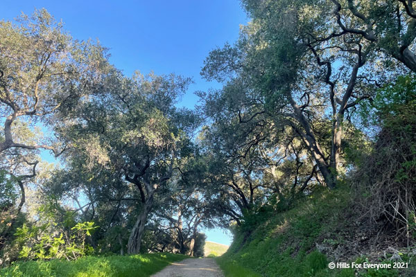 A trail leads up a steep hill with tall oak trees above on each side and green vegetation on both sides of the trail with a bright blue sky above.