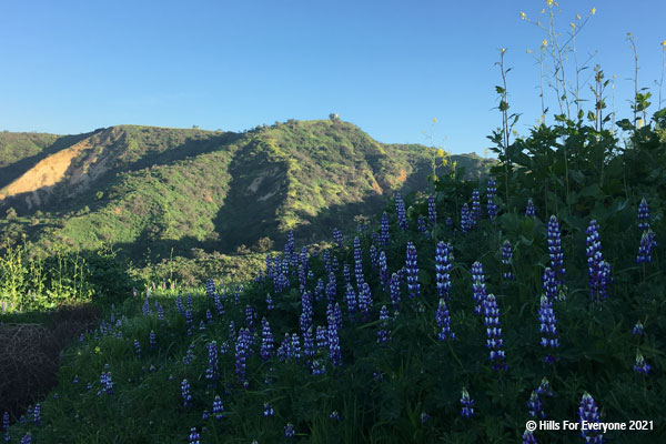 Many purple and white tipped lupine cover the foreground wtih green vegetated and some steep bare slopes in the background set against a medium blue sky.