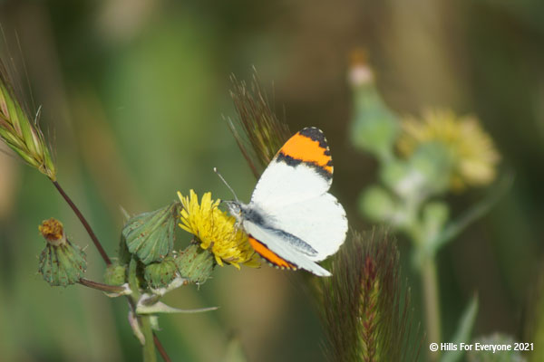 A mostly white butterfly with orange and black tips sits on a yellow flower with other flowers ready to bloom and plants and green scenery in the background.
