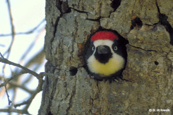An acorn woodpecker with white and black markings and a red cap pops its head out of a hole in a tree.