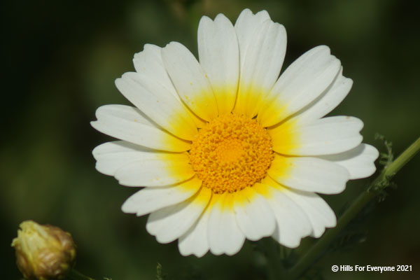 A single white flower with yellow petals near the center and yellow pollen against a darker green background.