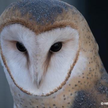 Barn Owls Hunt at Dusk