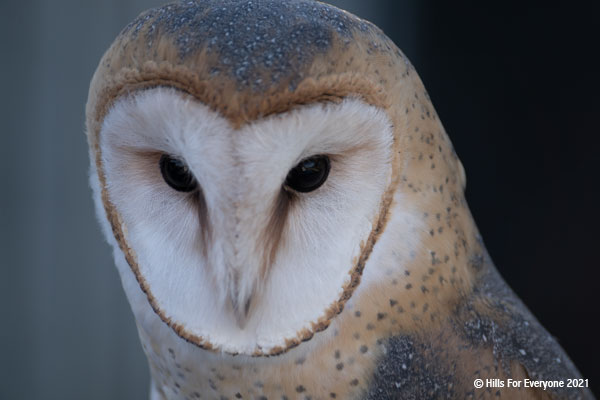 A barn owl with a white heart-shaped face ringed by brown feathers looks slightly down against a grey and black background.