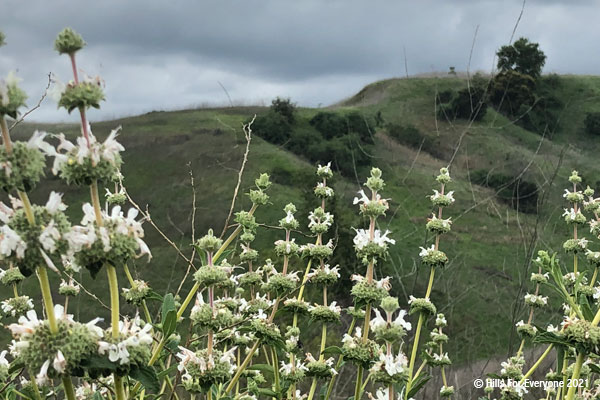 Many green stalks jut toward the sky with white flowers in sections with green hills and trees in the background with a cloudy grey sky.