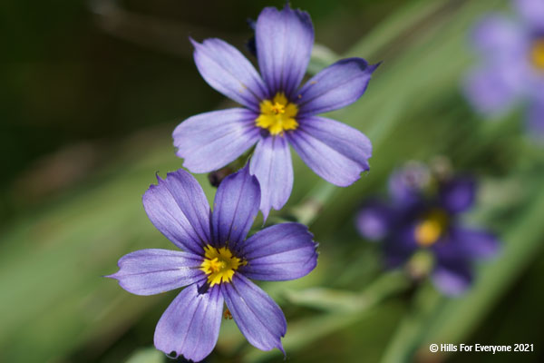 Two vivid purple flowers with bright yellow centers against a green background.