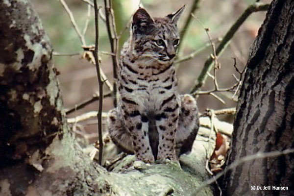 A tan, black, and white bobcat sits on a level branch and looks off in the distance.