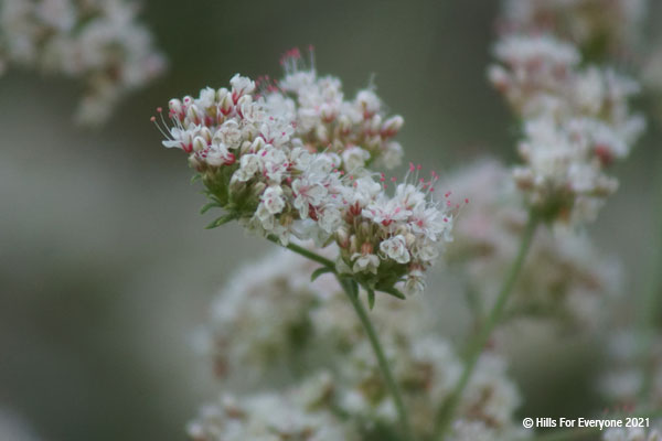 A green stem with tiny pink and white flowers in clusters with the same type of flower clusters blurry in the background.