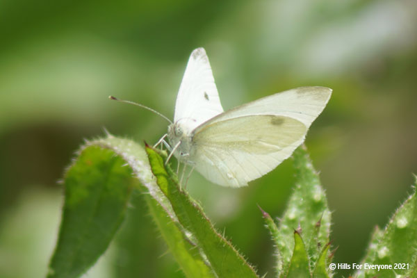 A white butterfly with faded black dots near the wingtips sits on a green leaf with small white hairs and a green and white background.