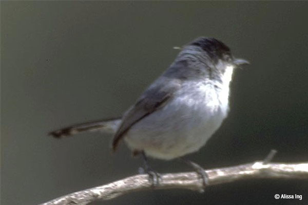 A California gnatcatcher with grey feathers and a darker grey top balances on a branch.