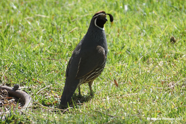 A California quail with grey feathers on its back and brown and white underneath and a plume off its head walks through green grass.