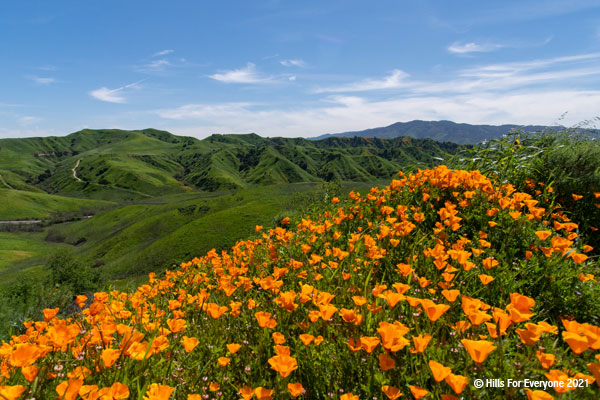 A smattering of orange poppies with rolling green hills in the background and blue sky with scattered clouds above.