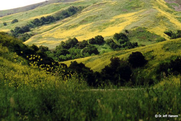 Yellow mustard plants cover hillsides in the distance and foreground with oaks and other green vegetation scattered about.