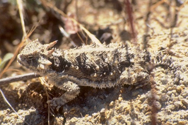 A well camouflaged lizard with spikes all over its body sits on pebbles of the same neutral colors.