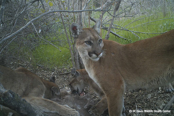 A mother cougar looks behind herself, while her two maturing cubs feast on a deer.