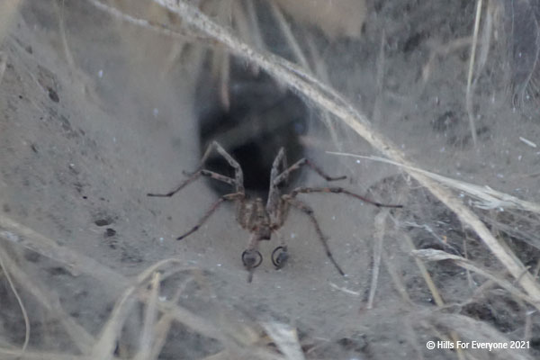 A funnel spider sits at the entrance of its funnel which is covered in dirt and has a variety of debris nearby.