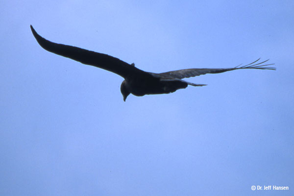A golden eagle soars against a vivid blue sky looking down toward the ground.