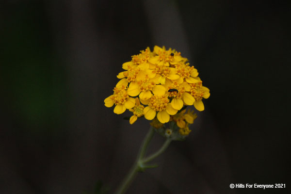 Small yellow flowers in a bunch in the center with a green stalk and a black background.