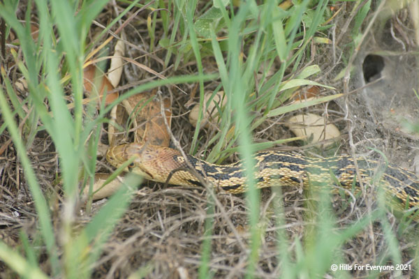 A snake with a yellow and black pattern on its back wiggles through the green grass and is slightly obscured by the grasses.