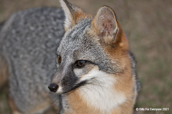 A grey fox with red highlights and a white chin looks off to one side with a blurry background of neutral colors.