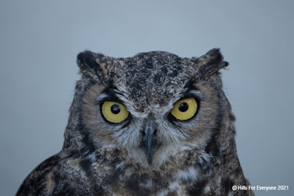 A great horned owl looks forward with its bright yellow eyes and ruffled grey, black, tan, and white feathers against a grey-blue background.