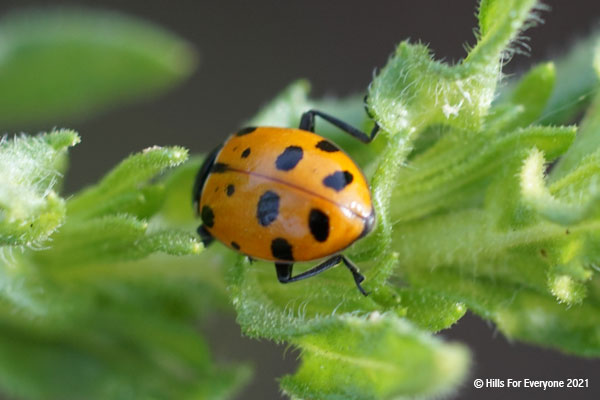 An orange bug with black splotches walks across green leaves with small white hairs and a gray background.