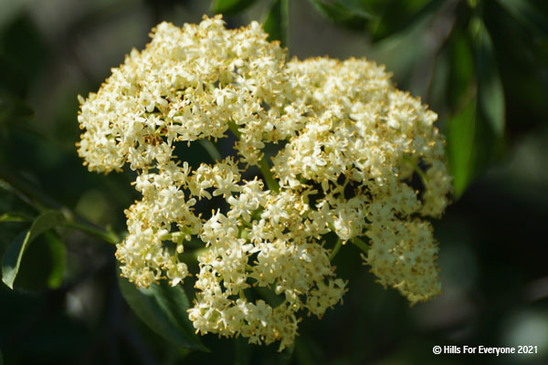 A cluster of white flowers in the center of the photograph with dark green leaves in the background.