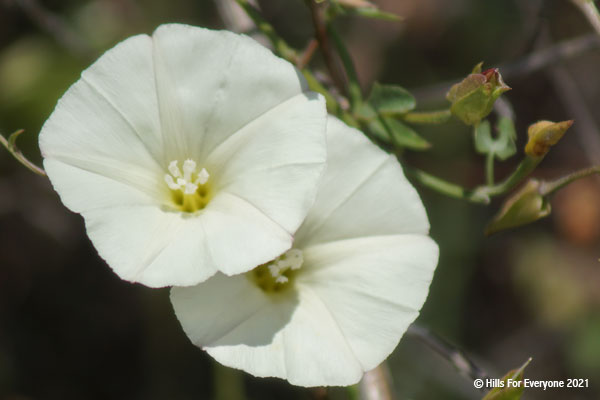 Two white overlapping flowers with white centers against a green background with various leaves and stems intertwined.